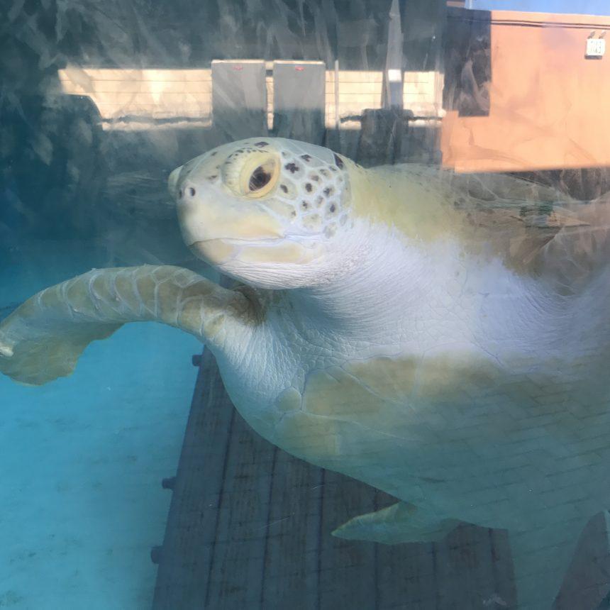 Sea Turtle--5